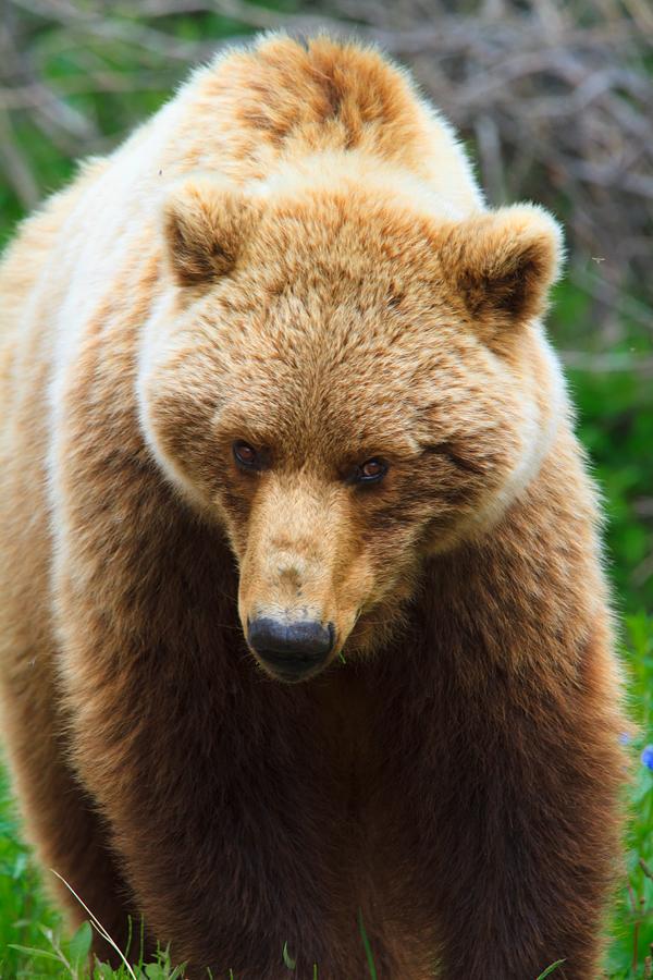 Denali Park Grizzly Bear Summer 2012