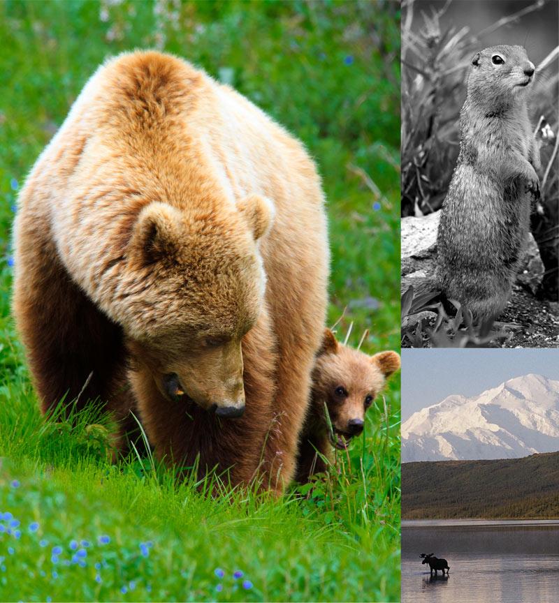wildlife-denali-park