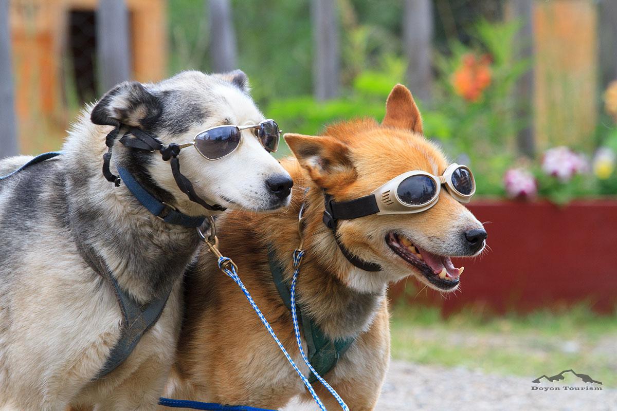 alaskan-dog-sleading