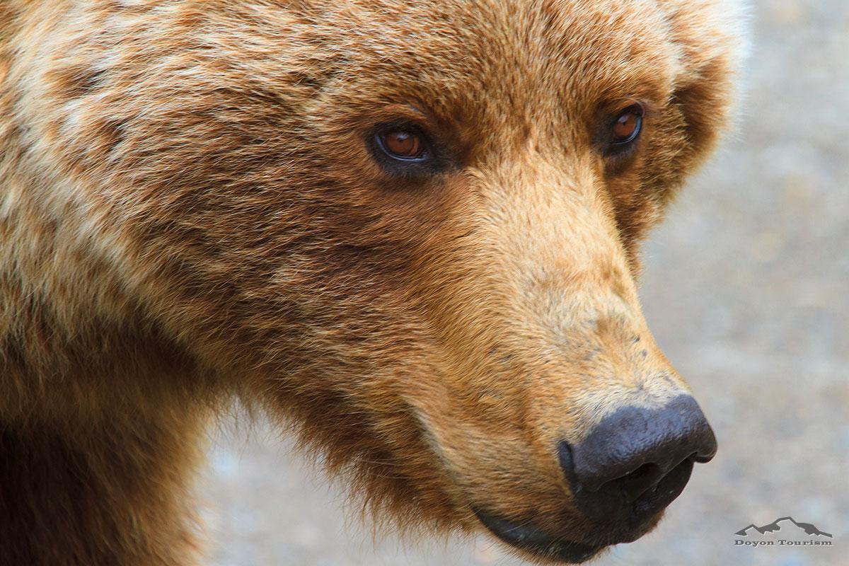 bear-closeup