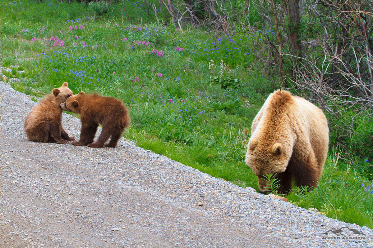 bear-cubs-and-mom