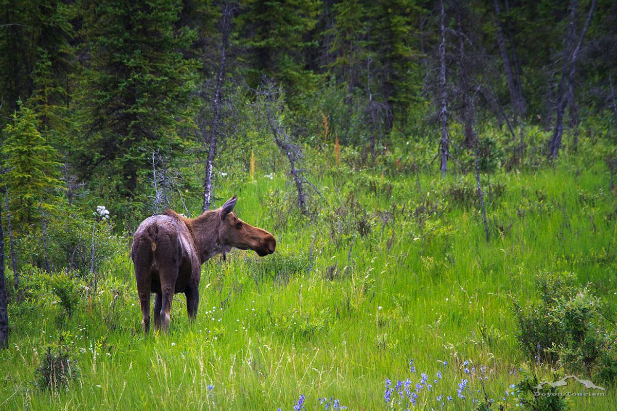 moose-in-the-field