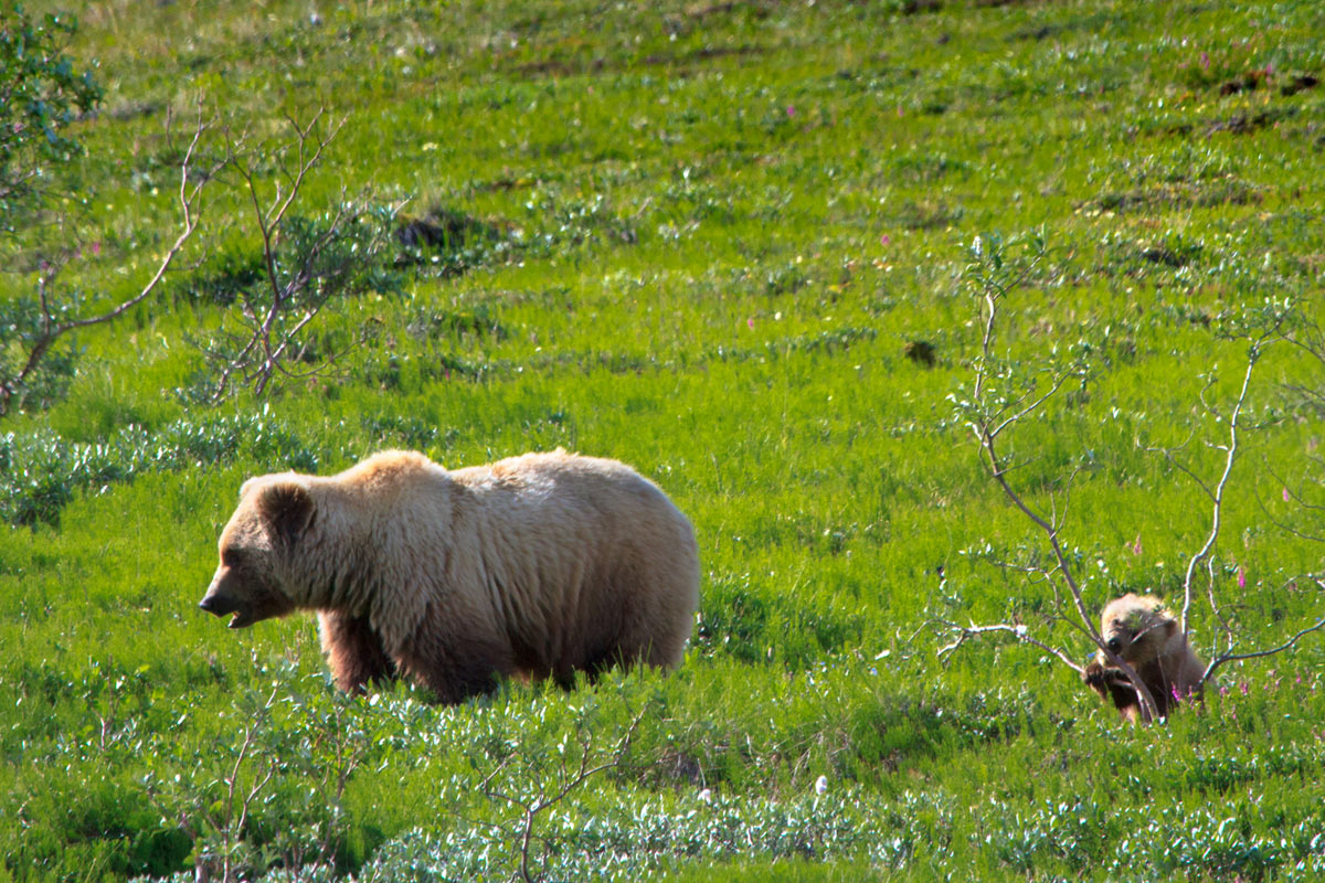 sighting-wildlife-denali-bears