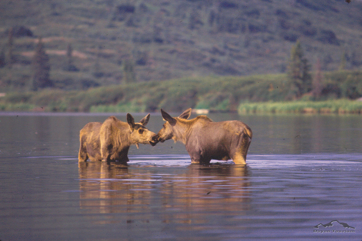 two-moose-in-the-river