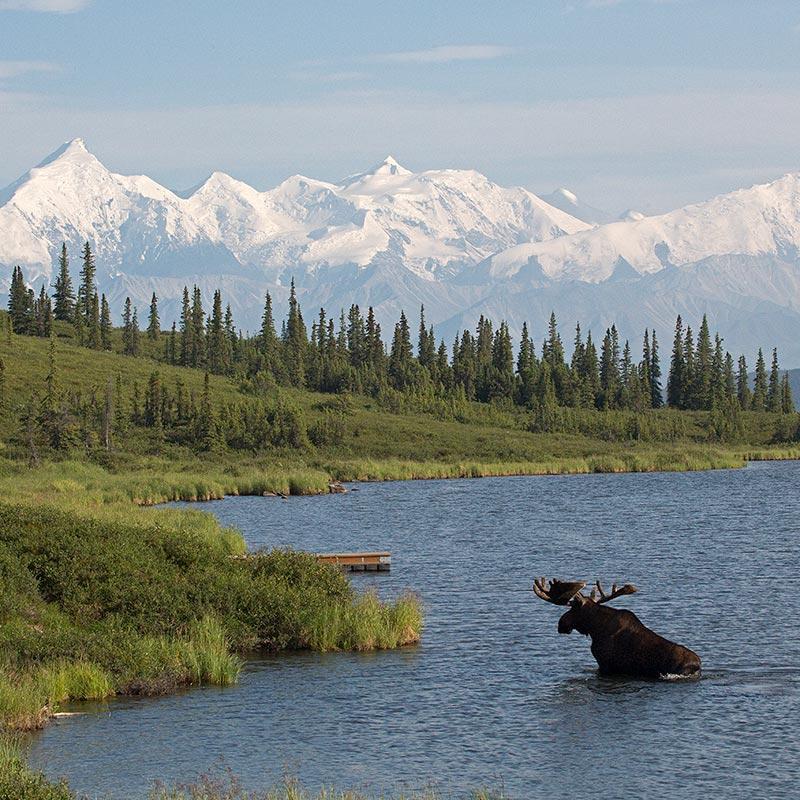 Moose in lake in Denali